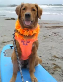 This surfing dog is bringing joy daily.