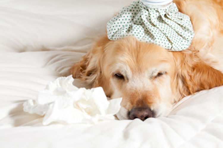 What Pet Owners Need to Know About Dog Flu